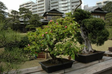 bonsai Chaenomeles - Happoen Garden